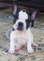 French Bulldog Puppies for sale in Tomball, TX 77375, USA. price: NA