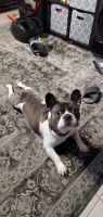 French Bulldog Puppies for sale in Plantation, FL, USA. price: NA