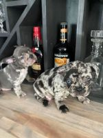 French Bulldog Puppies for sale in 5892 TX-27, Center Point, TX 78010, USA. price: NA