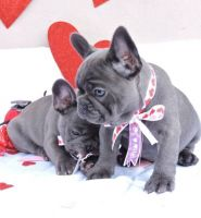 French Bulldog Puppies for sale in Portland, OR, USA. price: NA
