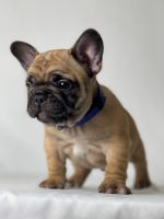French Bulldog Puppies for sale in Covina, CA 91723, USA. price: NA