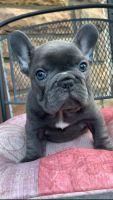 French Bulldog Puppies for sale in Monroe, GA, USA. price: NA