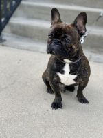 French Bulldog Puppies for sale in Tampa, FL, USA. price: NA