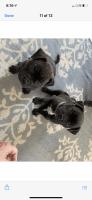 French Bulldog Puppies for sale in Mechanicsville, VA, USA. price: NA