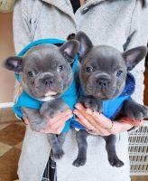 French Bulldog Puppies for sale in Miami Beach, FL, USA. price: NA