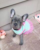 French Bulldog Puppies for sale in Michigan - Martin, Detroit, MI 48210, USA. price: NA