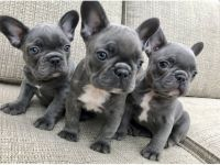 French Bulldog Puppies for sale in Minneapolis, MN, USA. price: NA