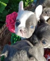 French Bulldog Puppies for sale in New York, NY, USA. price: NA