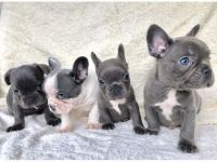 French Bulldog Puppies for sale in Knoxville, TN, USA. price: NA