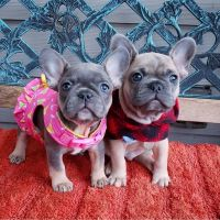 French Bulldog Puppies for sale in 53 Eldred St, Lexington, MA 02420, USA. price: NA
