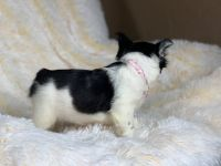French Bulldog Puppies for sale in Houston, TX, USA. price: NA