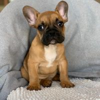 French Bulldog Puppies for sale in Avondale, AZ, USA. price: NA