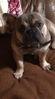 French Bulldog Puppies for sale in Prairieville, LA 70769, USA. price: NA