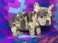 French Bulldog Puppies for sale in Pasadena, CA, USA. price: NA