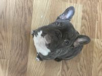 French Bulldog Puppies for sale in Maiden, NC 28650, USA. price: NA