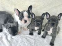 French Bulldog Puppies for sale in Brooklyn, NY, USA. price: NA