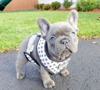 French Bulldog Puppies for sale in NV-589, Las Vegas, NV, USA. price: NA