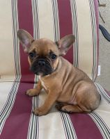French Bulldog Puppies for sale in Indio, CA, USA. price: NA
