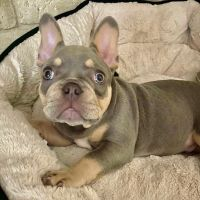 French Bulldog Puppies for sale in Longview, TX, USA. price: NA
