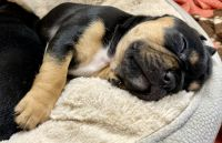 French Bulldog Puppies for sale in 1560 N 800 W, Logan, UT 84321, USA. price: NA