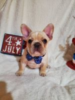 French Bulldog Puppies for sale in 406 Parkview Dr, Bloomfield, IA 52537, USA. price: NA