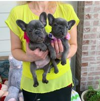 French Bulldog Puppies for sale in 8247 SW 90th Ave, Ocala, FL 34481, USA. price: NA