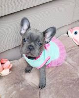 French Bulldog Puppies for sale in Fayetteville, NC, USA. price: NA