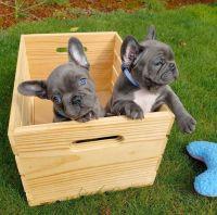 French Bulldog Puppies for sale in Arlington, VA, USA. price: NA