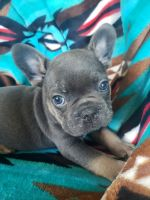 French Bulldog Puppies for sale in Township of Greenwood, MI 48006, USA. price: NA