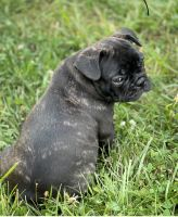French Bulldog Puppies for sale in Dillsboro, IN 47018, USA. price: NA