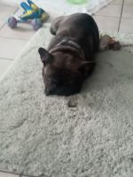 French Bulldog Puppies for sale in Palmdale, CA, USA. price: NA