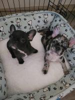 French Bulldog Puppies for sale in Hesperia, CA 92345, USA. price: NA
