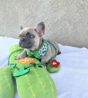 French Bulldog Puppies for sale in Riverside, CA, USA. price: NA