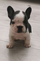 French Bulldog Puppies for sale in Staten Island, NY 10312, USA. price: NA
