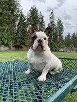 French Bulldog Puppies for sale in Spokane, WA, USA. price: NA