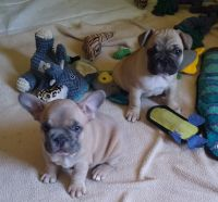 French Bulldog Puppies for sale in Sacramento, CA, USA. price: NA