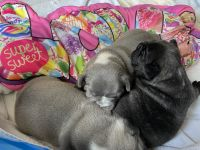 French Bulldog Puppies for sale in Fort Lauderdale, FL, USA. price: NA