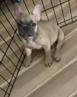 French Bulldog Puppies for sale in Palm Beach Shores, FL 33404, USA. price: NA