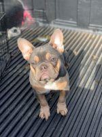 French Bulldog Puppies for sale in Nashville, TN, USA. price: NA