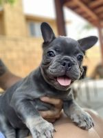 French Bulldog Puppies for sale in Fontana, CA 92337, USA. price: NA