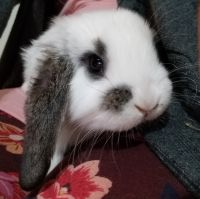French Lop Rabbits for sale in Fayetteville, GA, USA. price: NA