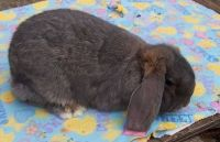 French Lop Rabbits for sale in Imlay City, MI 48444, USA. price: NA