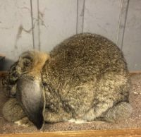 French Lop Rabbits Photos