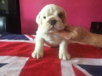Gaddi Kutta Puppies for sale in NC-54, Burlington, NC 27215, USA. price: NA