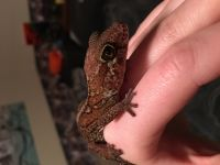 Gecko Reptiles for sale in Sartell, MN, USA. price: NA