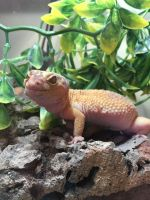 Gecko Reptiles for sale in 1220 S W Temple, Salt Lake City, UT 84101, USA. price: NA