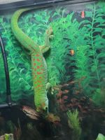 Gecko Reptiles for sale in Kittanning, PA 16201, USA. price: NA