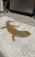 Gecko Reptiles for sale in Orange Grove Blvd, North Fort Myers, FL, USA. price: NA