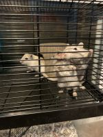 Gerbil Rodents for sale in 1803 Lyndover Rd, Richmond, VA 23222, USA. price: NA