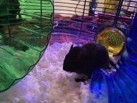 Gerbil Mouse Rodents for sale in Brownstown Charter Twp, MI, USA. price: NA